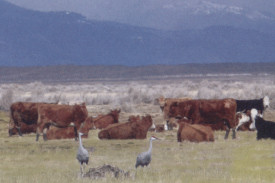 Modoc County cattle mingling with Sandhill cranes.